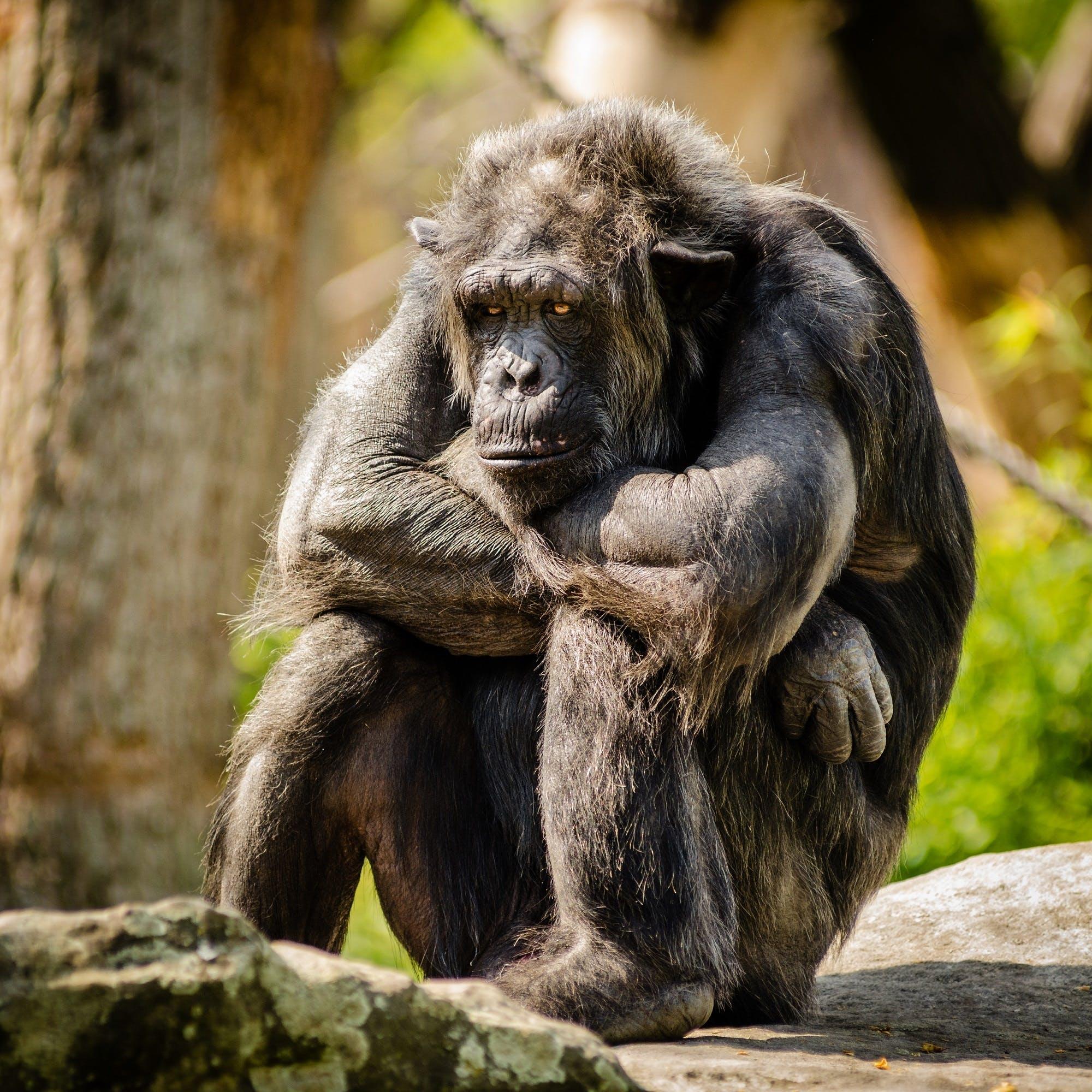 abe, chimpanse, dyr