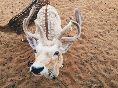 Foto profissional grátis de animal, jardim zoológico, veado