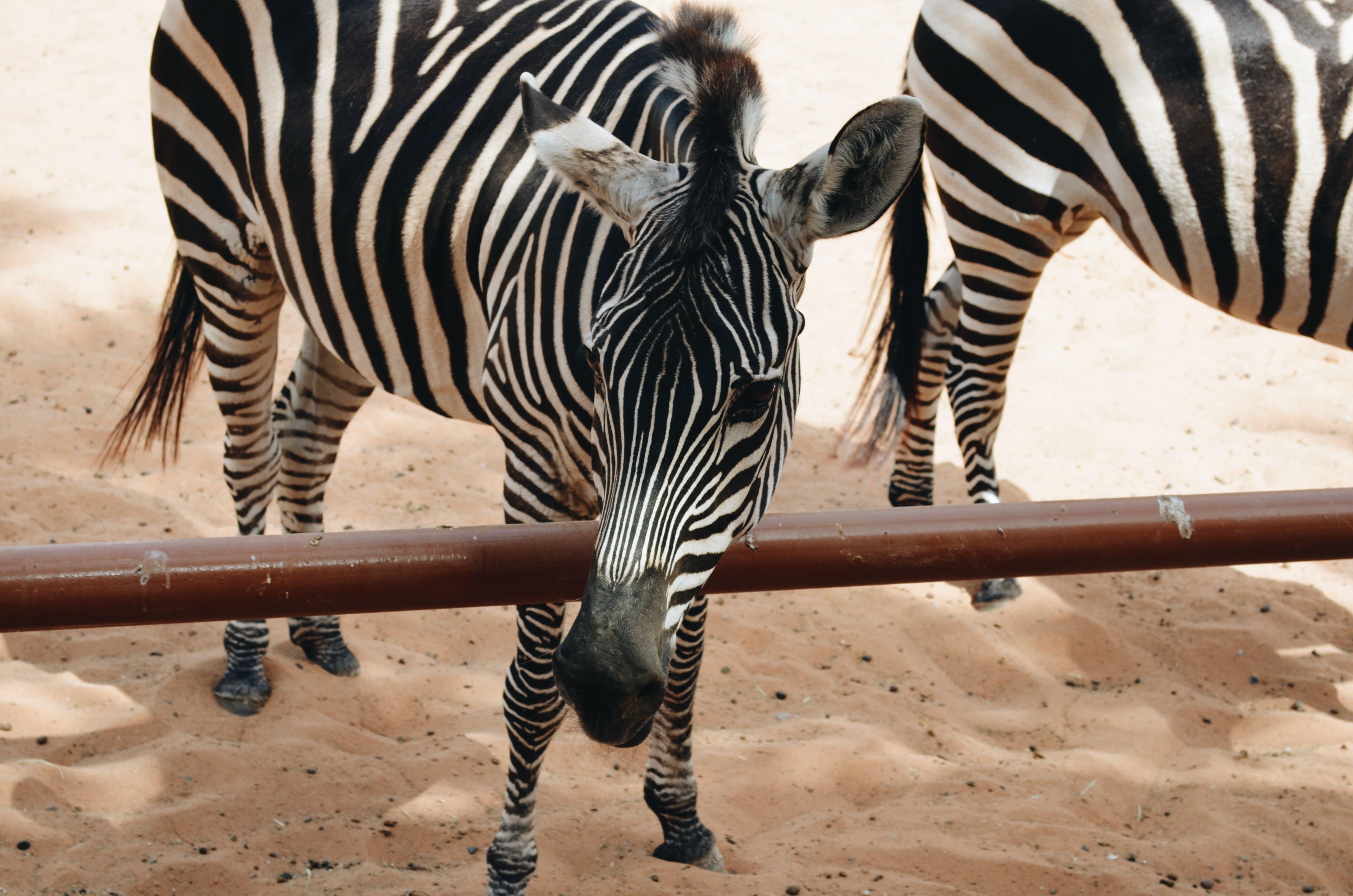 Free stock photo of animal, zoo, zebra