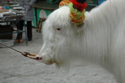 Ảnh lưu trữ miễn phí về mũi, xỏ mũi, yak