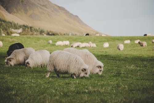 Flocks of Sheep Eating Grass