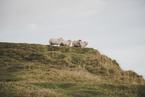 Herd of Sheep on a Mountain