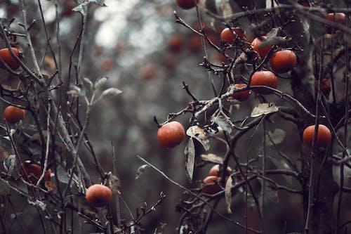 吃得健康, 戶外, 水果, 秋季 的 免費圖庫相片