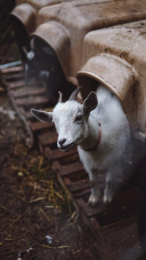 Immagine gratuita di adorabile, animale, animale della fattoria, azienda agricola