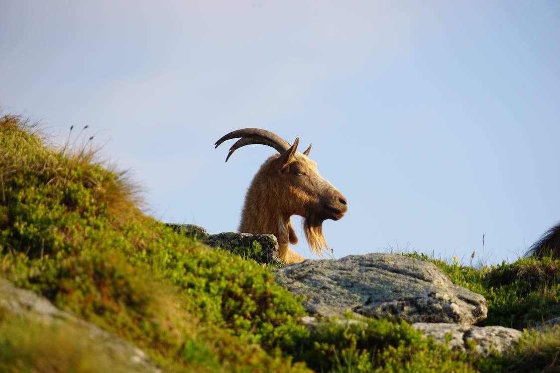 Brown Goat Beside Green Plants