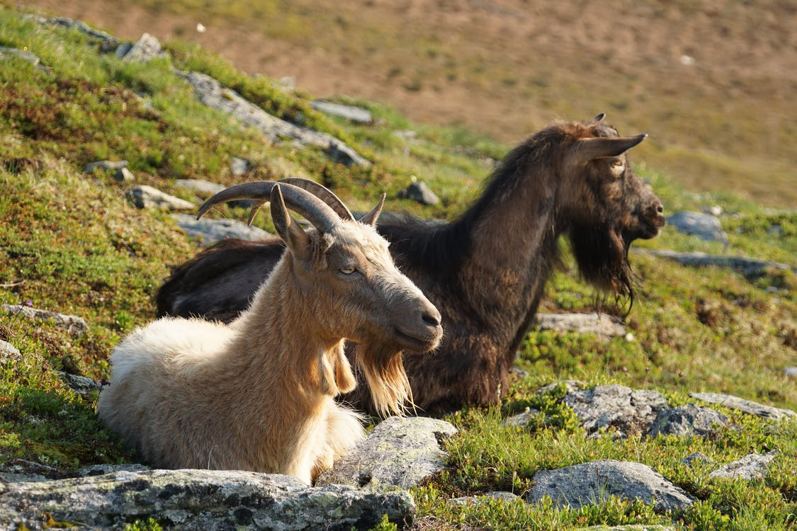 White and Brown Goats