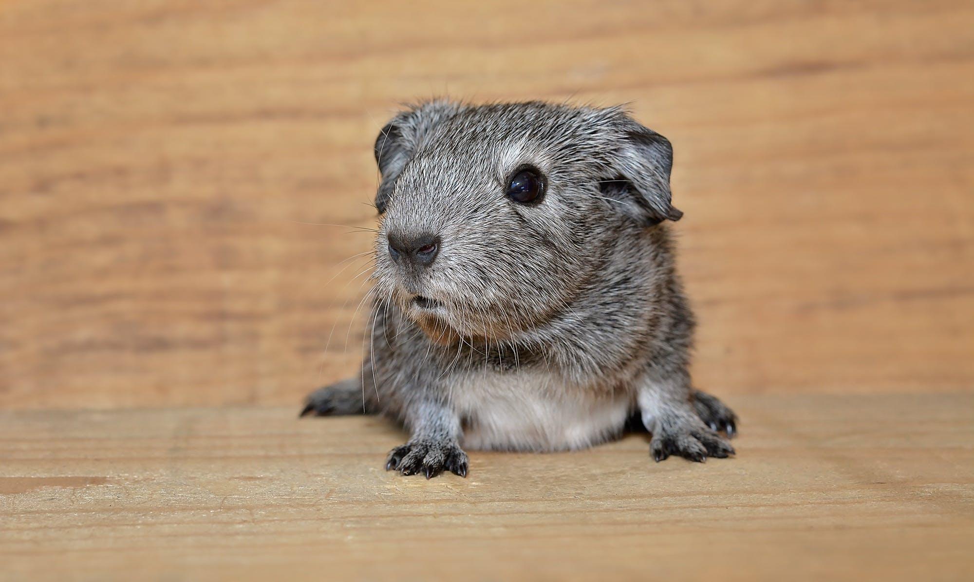 Kostenloses Stock Foto zu haustier, jungtier, kleintier, meerschweinchen