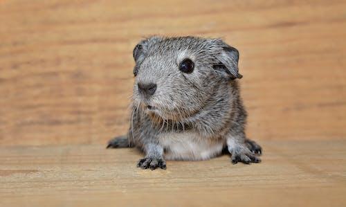 Ảnh lưu trữ miễn phí về chuột bạch, con thú nhỏ, con vật, loài gặm nhấm