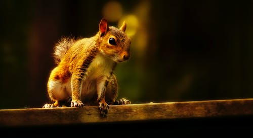 Selective Focus Photo of Brown Squirrel on Brown Wooden Surface