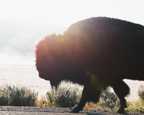 Fotos de stock gratuitas de amante de los animales, America, animal, bisonte