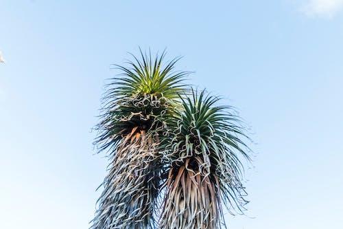 Free stock photo of Overland Track, pandani, Richea pandanifolia