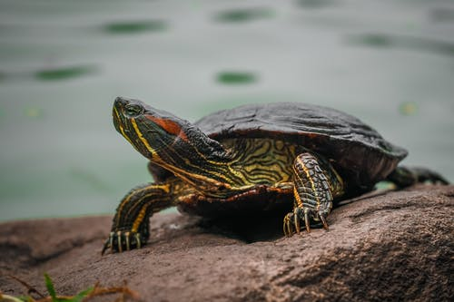 Selective Focus Photography Green and Black Turtle