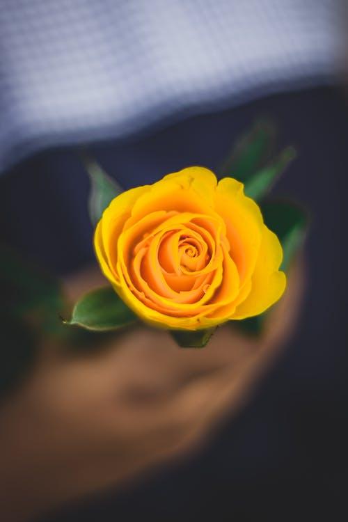 bitki örtüsü, çiçek, Çiçek açmak, gül içeren Ücretsiz stok fotoğraf