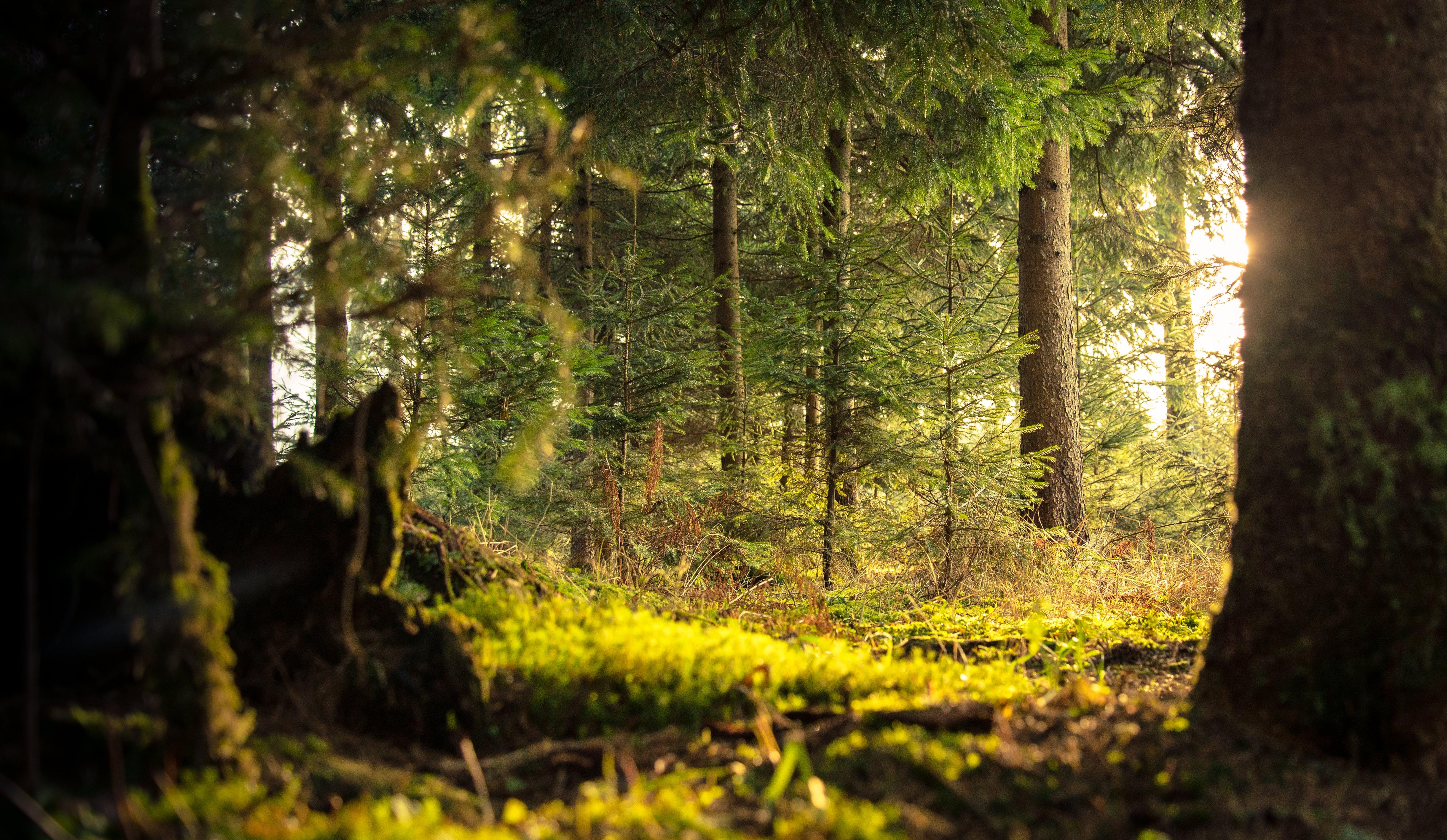 Základová fotografie zdarma na téma denní světlo, HD tapeta, hora, jehličnan