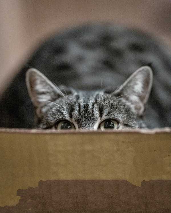 Shallow Focus Photography of Gray Cat in Box