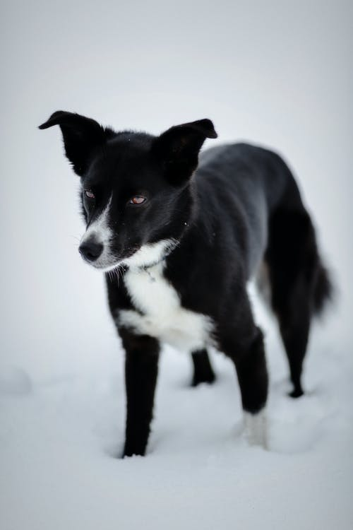 Black and White Short-coated Dog