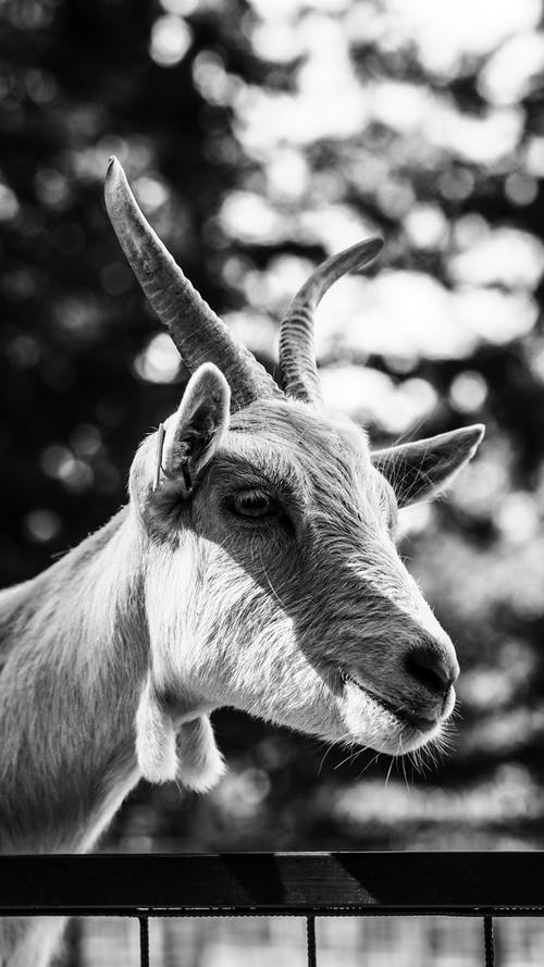 Grayscale Photography of Goat