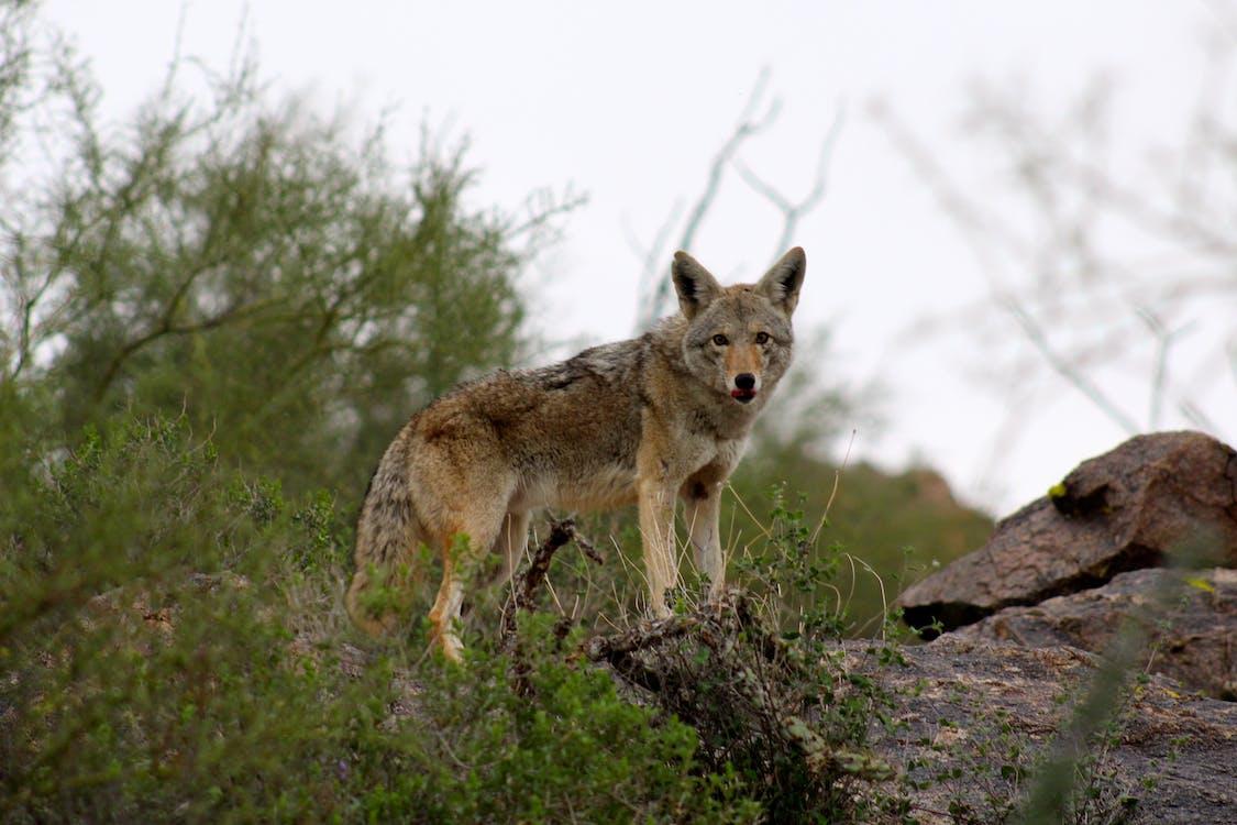 Free stock photo of bush, coyote, fur