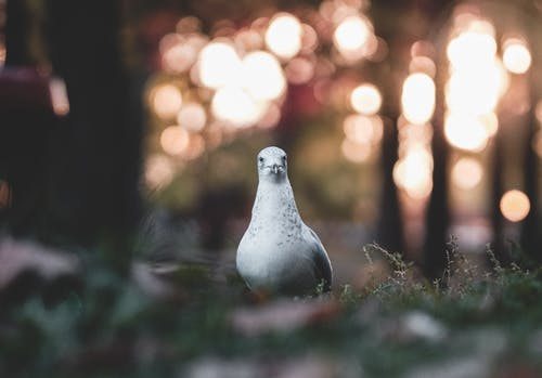 Bokeh Photography of a White and Black Pigeon on the Ground