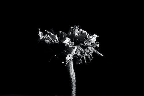 Foto d'estoc gratuïta de blanc, botànic, botànica, decoració