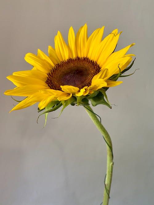 Free stock photo of beautiful flowers, flowers, sunflower