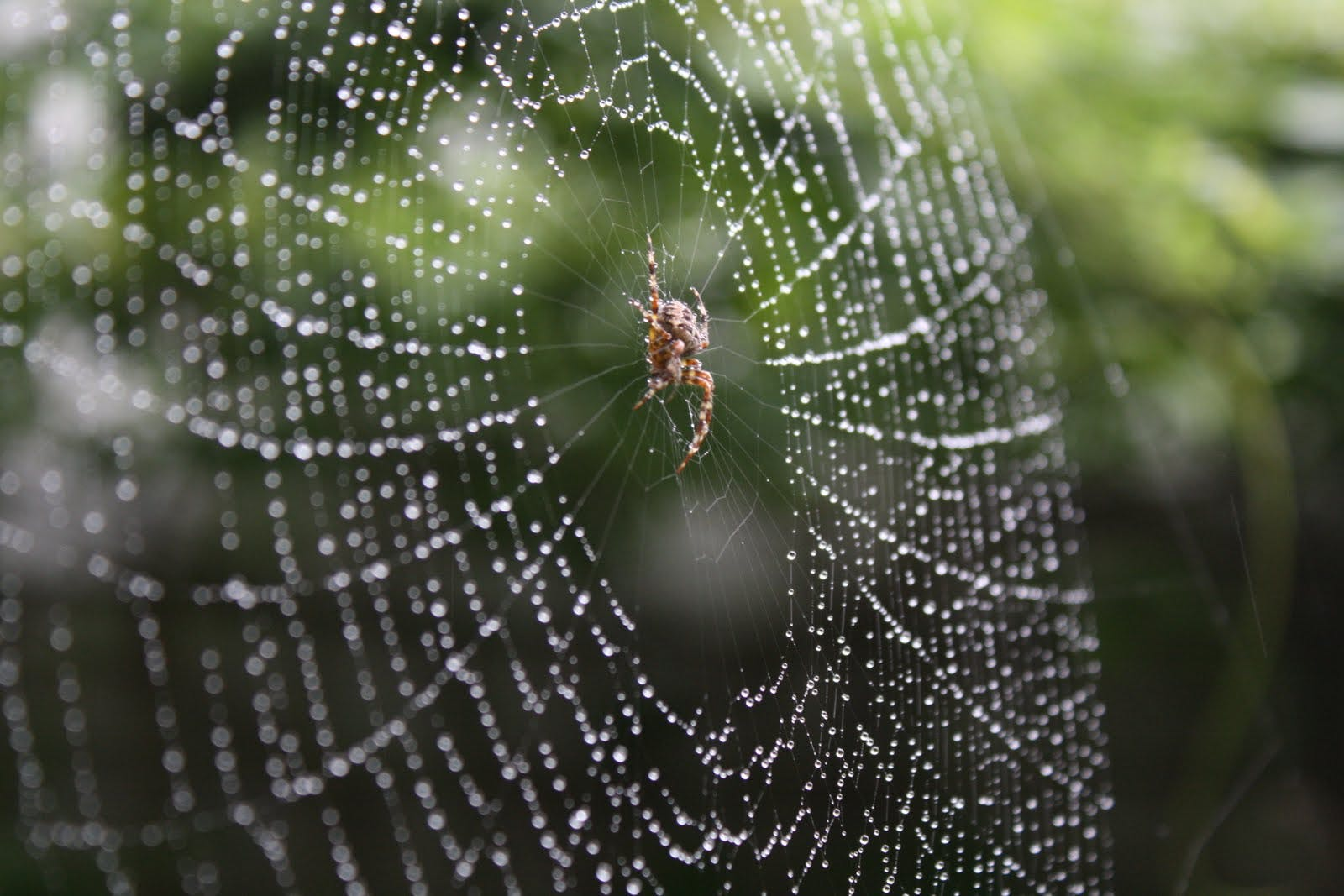 Free stock photo of autumn, dew drops, garden, spider