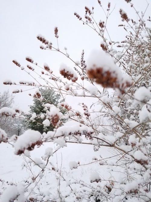 Δωρεάν στοκ φωτογραφιών με θάμνος, χειμερινό υπόβαθρο, χειμώνας, χιόνι