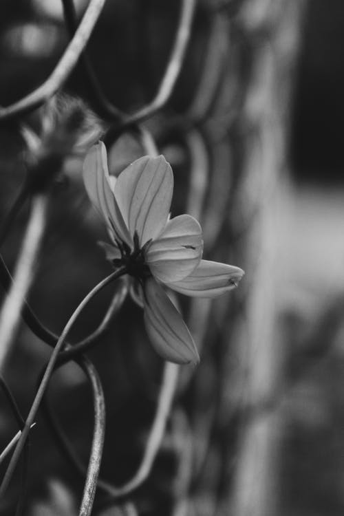 Imagine de stoc gratuită din alb-negru, floare