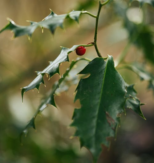 Free stock photo of berry, green, red
