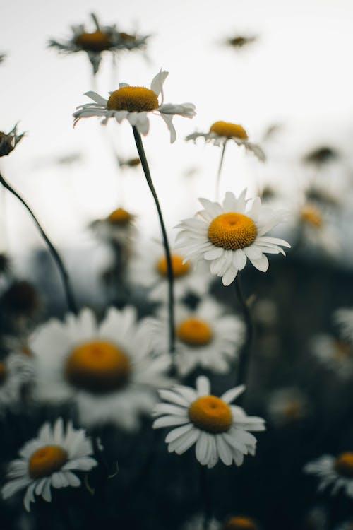 Immagine gratuita di fiore bianco, fiori, giallo