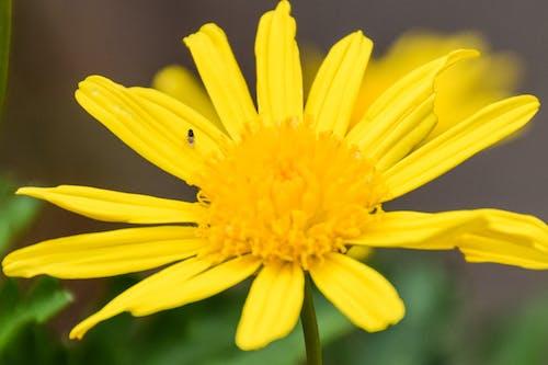 Immagine gratuita di ape, fiore da giardino, fiori, fiori bellissimi