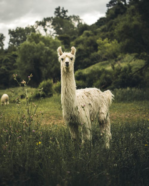 White Llama on Green Grass