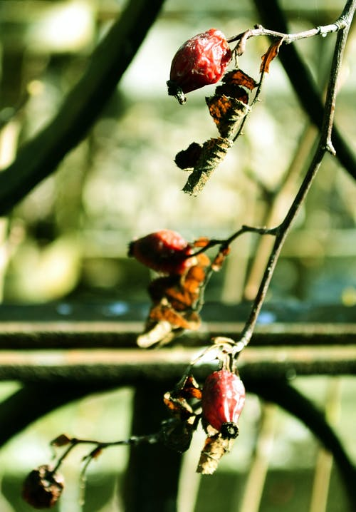 Free stock photo of cemetery, dried fruit, nature, rosehip