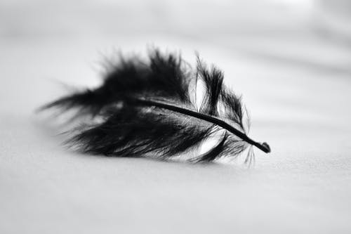 Free stock photo of black, feather