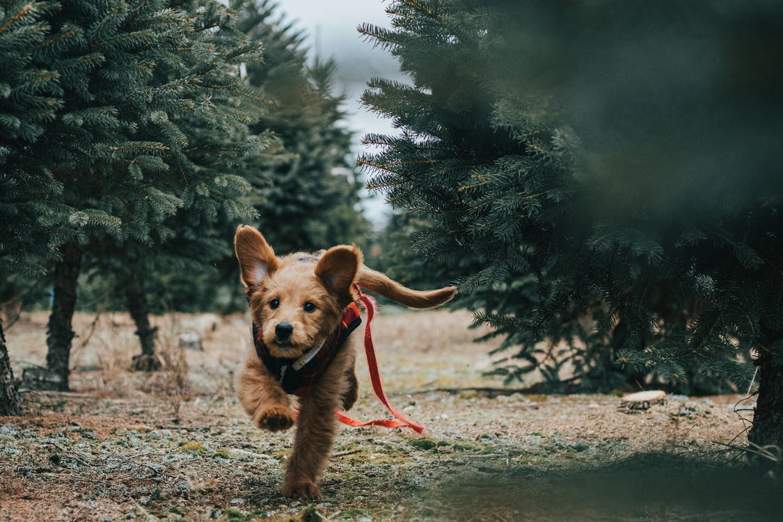 Short-coated brown dog running through a Christmas tree lot
