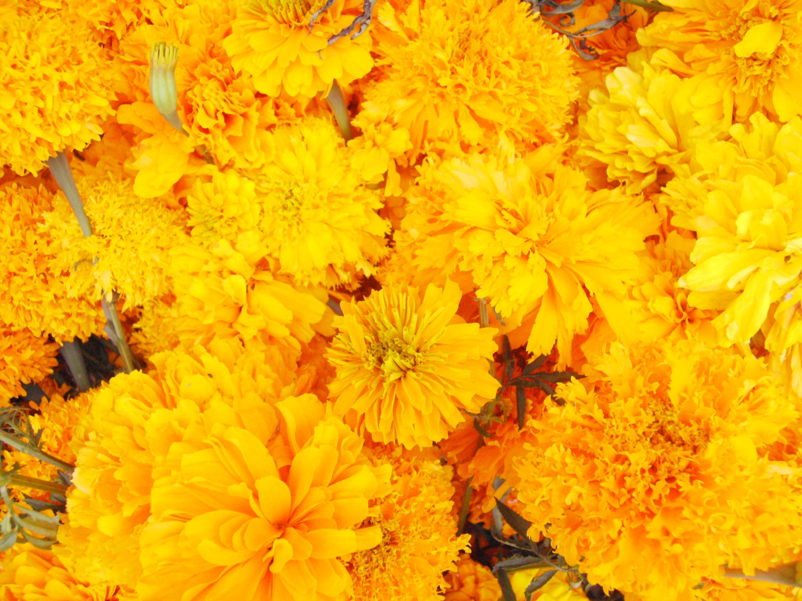 Free stock photo of cempazuchitl, dead flower, flower, mexican