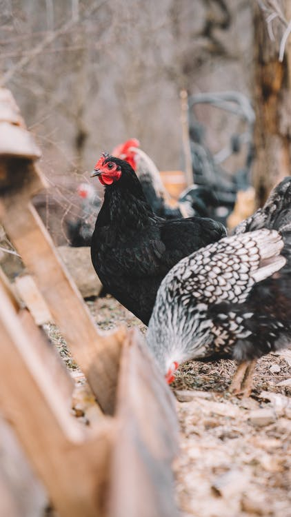 Shallow Focus Photography of Black and Gray Hens