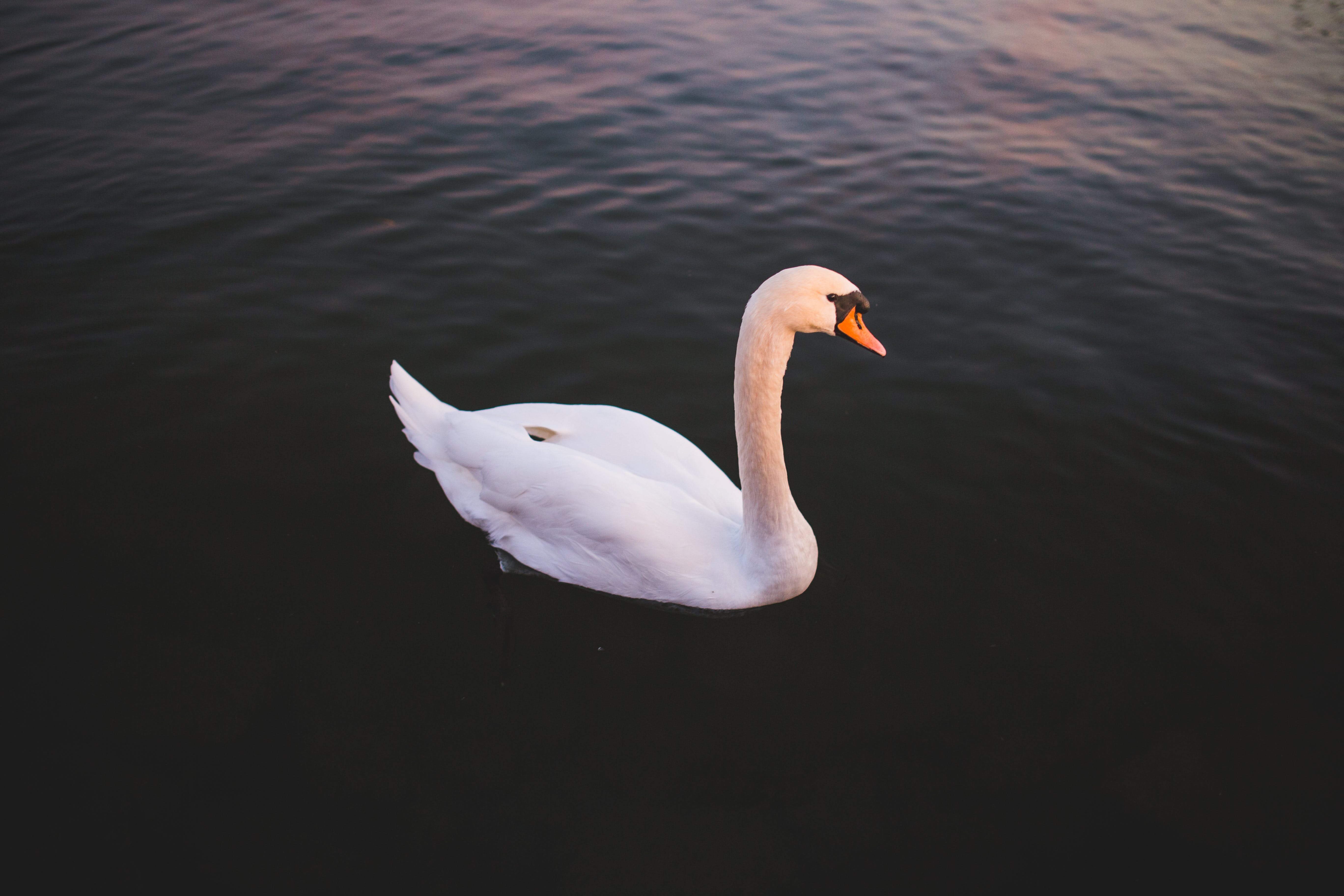 White Swan on Body of Water at Golden Hour