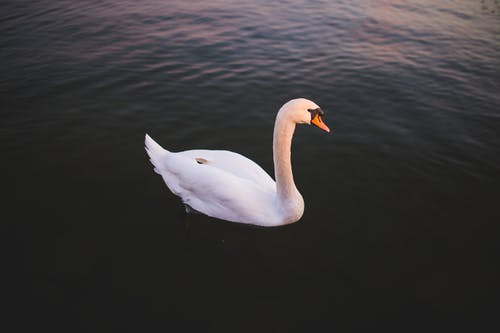 Foto d'estoc gratuïta de aigua, animal, au, cigne