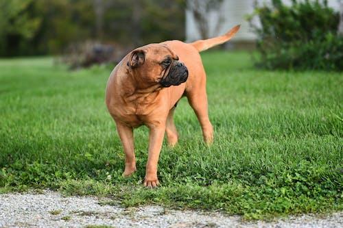 갈색, 강아지, 개, 개의의 무료 스톡 사진