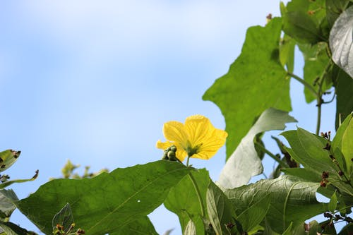 Free stock photo of flower, smooth gourd, sponge gourd flower, yellow flower