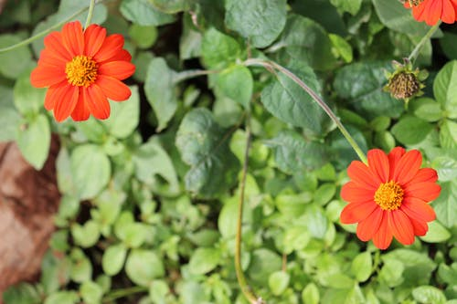 Free stock photo of garden flowers, red orange flower, Zinnia