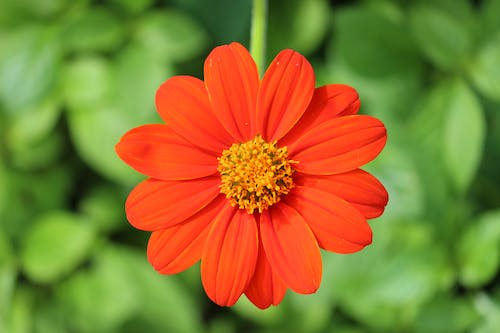 Free stock photo of red zinnia, Zinnia