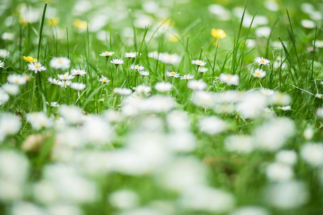 anlegg, blomster, engelsk tusenfryd