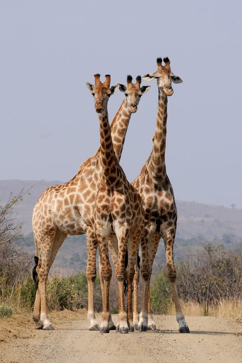Three Giraffe Under Gray Sky