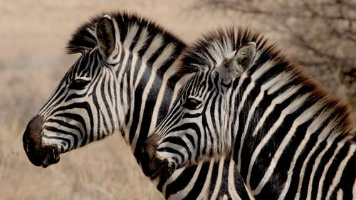 Two White-and-black Zebras