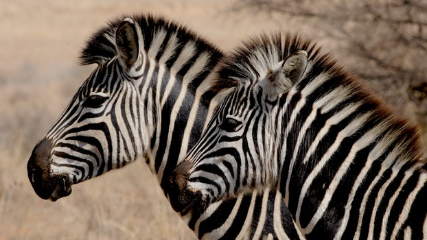 Free stock photo of africa, animals, wilderness, stripes