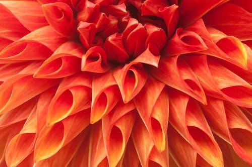 คลังภาพถ่ายฟรี ของ ดอกไม้ดอกรัก