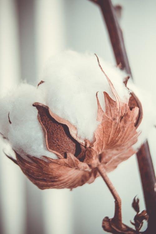Δωρεάν στοκ φωτογραφιών με βαμβάκι, μακροφωτογράφιση, στεφάνι λουλουδιών, φύση