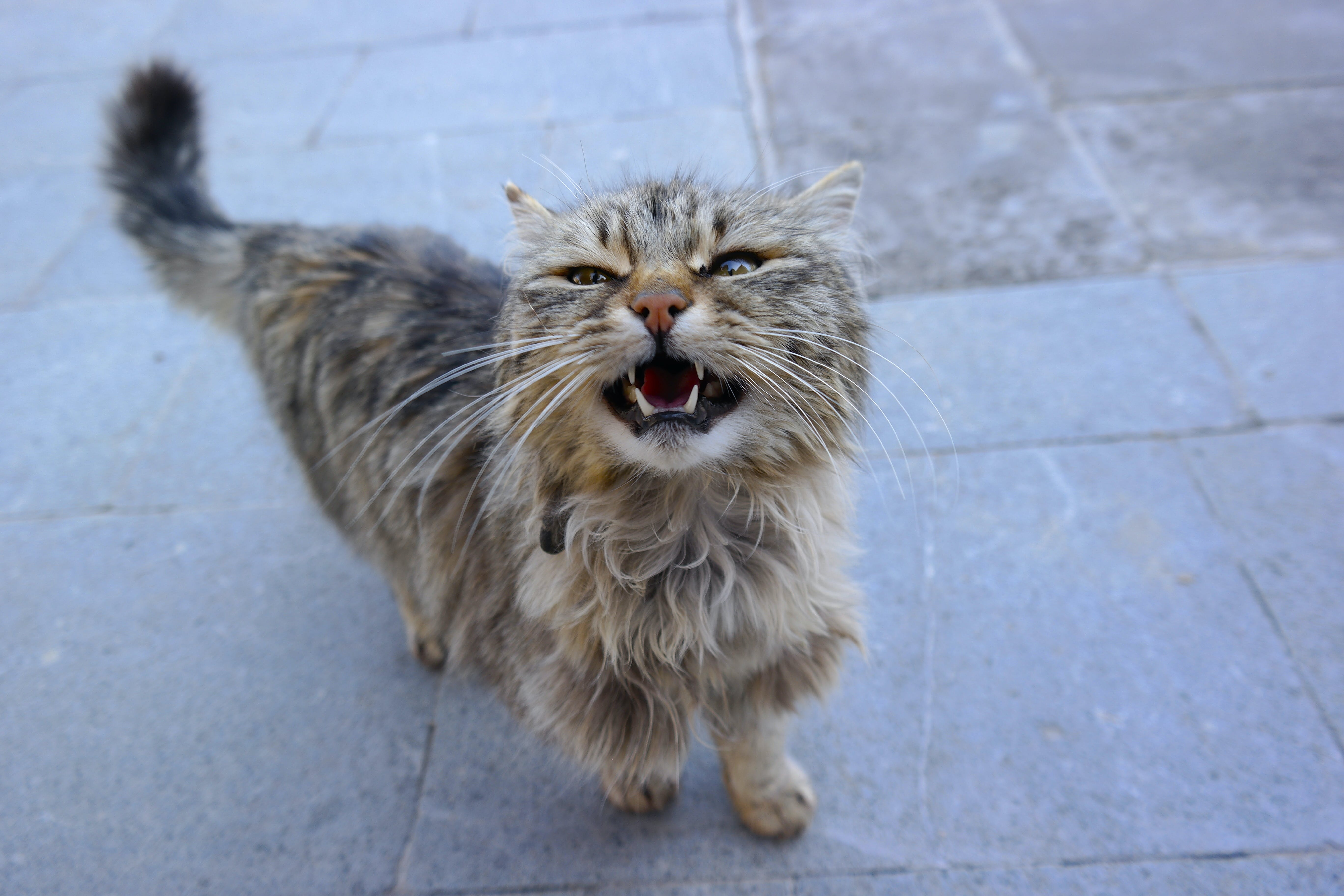 Free stock photo of angry, animal world, cat, natural